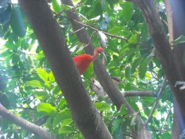 Scarlet Ibis in a Tree by MidnightTheCat