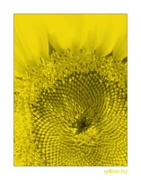 Yellow Sunflower by electricnet