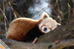 Sleeping Red panda by Wild-Lweek