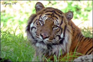 Sumatran Tiger by Mkatpro11