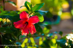 Red flower by HenriqueAMagioli