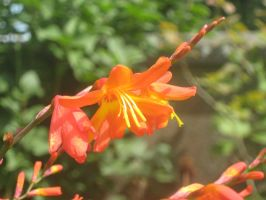 Crocosmia by desertrose2011