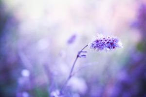 purple dreams by aubier