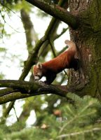 One Small Step For A Red Panda by Vertor