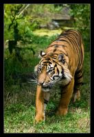 Sumatran Tiger 64-110 by lomoboy