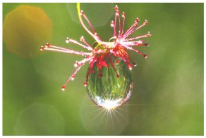 Sun Dew 2 by TomMontgomery