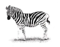 Zebra by emele-the-strange