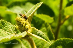 Bee by HenriqueAMagioli