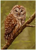 Barred Owl by BooYeh