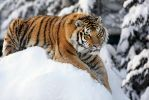 Snow Tiger by Sagittor