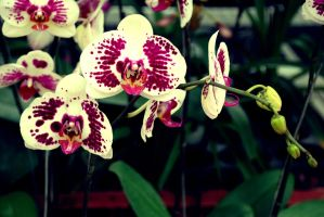 beautiful orchids by JONY-CAKEP
