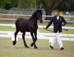 STOCK - Friesian Show 2012-51 by fillyrox