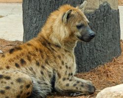 Serious Hyena by CRGPhotography