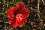 Red Hibiscus by ErinM2000