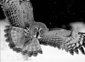 Great Grey Owl in BW by Mateuszkowalski