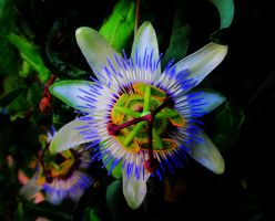 Passionflower by SARAYA-PFEIFFER