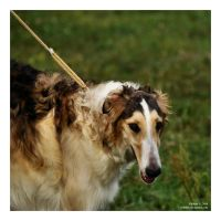 borzoi by Wilithin