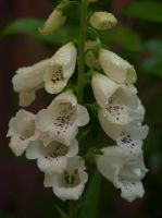 Common Foxglove 01 by botanystock