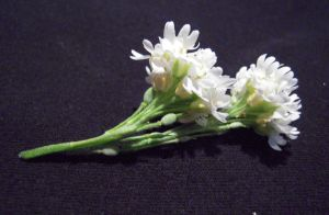 little white flowers Stock 1 by SimplyBackgrounds