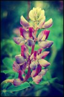 Lupine by soldierofsolace
