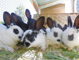 Mini Rex Bunnies for sale! by TMNT224