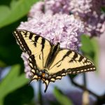 Eastern Tiger Swallowtail by tom30519