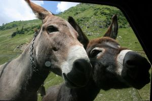 donkeys by unable2giveadamn