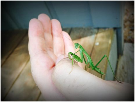 Mantis on my Hand by WVUARTIST