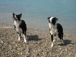 wet border collies by MartyAbigail