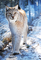 Lynx, Like an Angel by Dark-Ange1