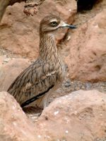 Stone Curlew by April-Snowflake
