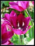 tulip... by kathy04