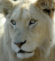 White Female Lion Head by Jenvanw