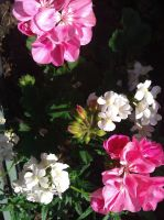 White and pink flowers by demonlucy