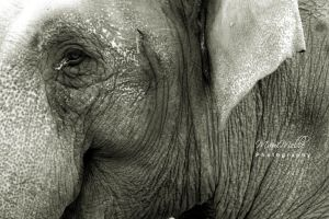 Elephant by MauiMelle