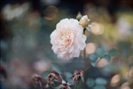 I want roses in my garden by Meallyn