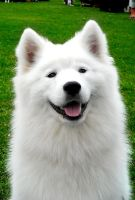 Samoyed smile by liikavarvas