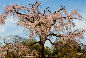 Cherry Tree in Osaka by ricperry1