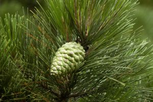 Pine Cone by RichardCT