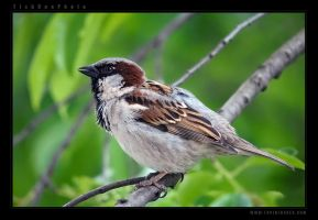 House Sparrow by tisbone