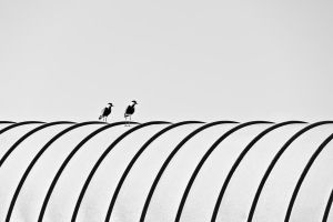 Lapwings on a drum by JBord