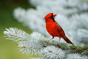Northern Cardinal 04 by Jay-Co