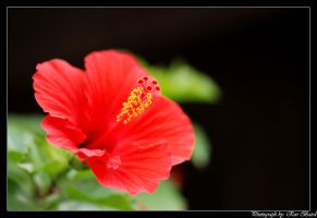Hibiscus flower close-up by VortXxe