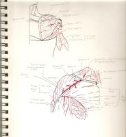 Anatomical Drawings by CoKra