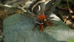 Giant Moth 2 by NoxieStock