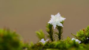 snowflake on moss by SilenceOfNature