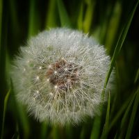 dandelion crystal II by Moramarth