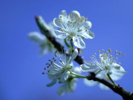 Blossoms by andras120