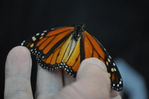 Male Monarch Corpse by Nerwign