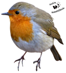 Cut-out stock PNG 16 - proud robin by Momotte2stocks